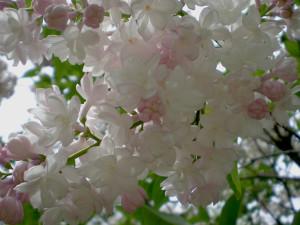 Бэз квітнеў сярод зімы