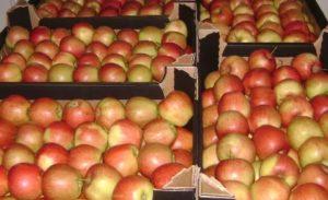 Бульбу і яблыкі здаў – грошы атрымаў